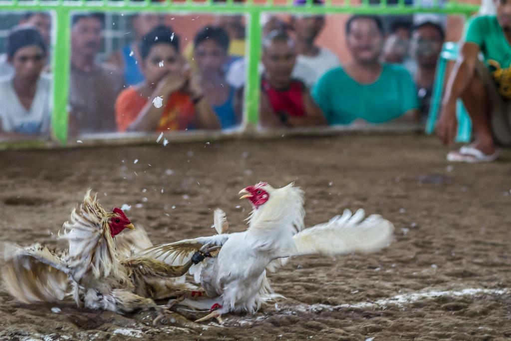Taruhan Ayam Terbaik