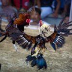 Aspek Penentu Kemenangan Ayam Aduan