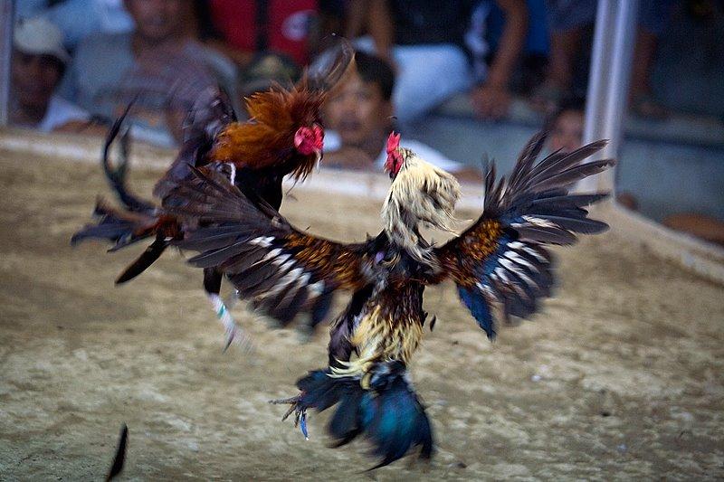 Judi Ayam Terbesar